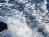 A Mahi Mahi can surf