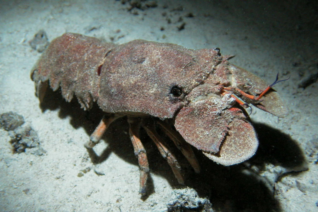 Slipper Lobster dive
