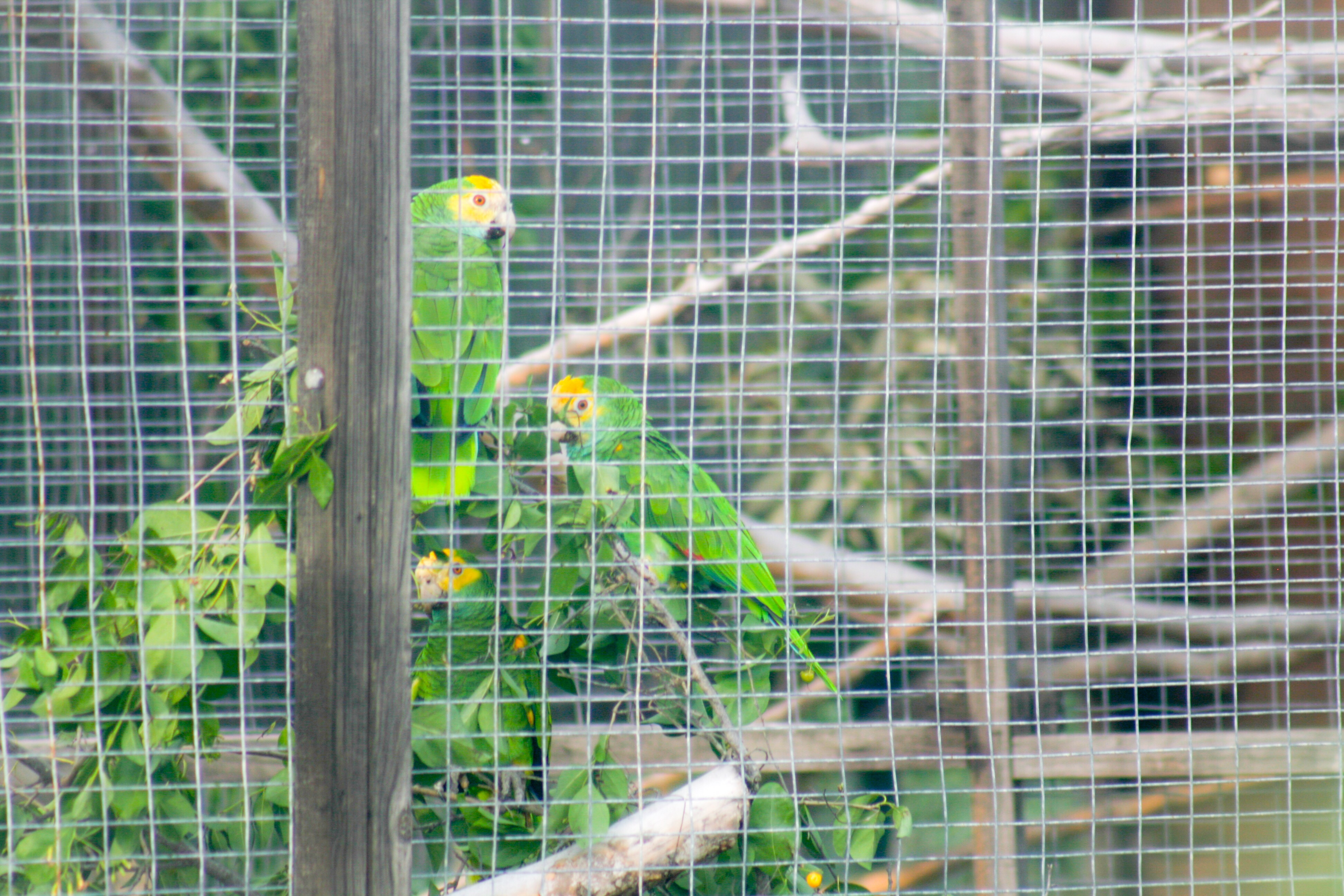 parrots being smuggled in to Bonaire