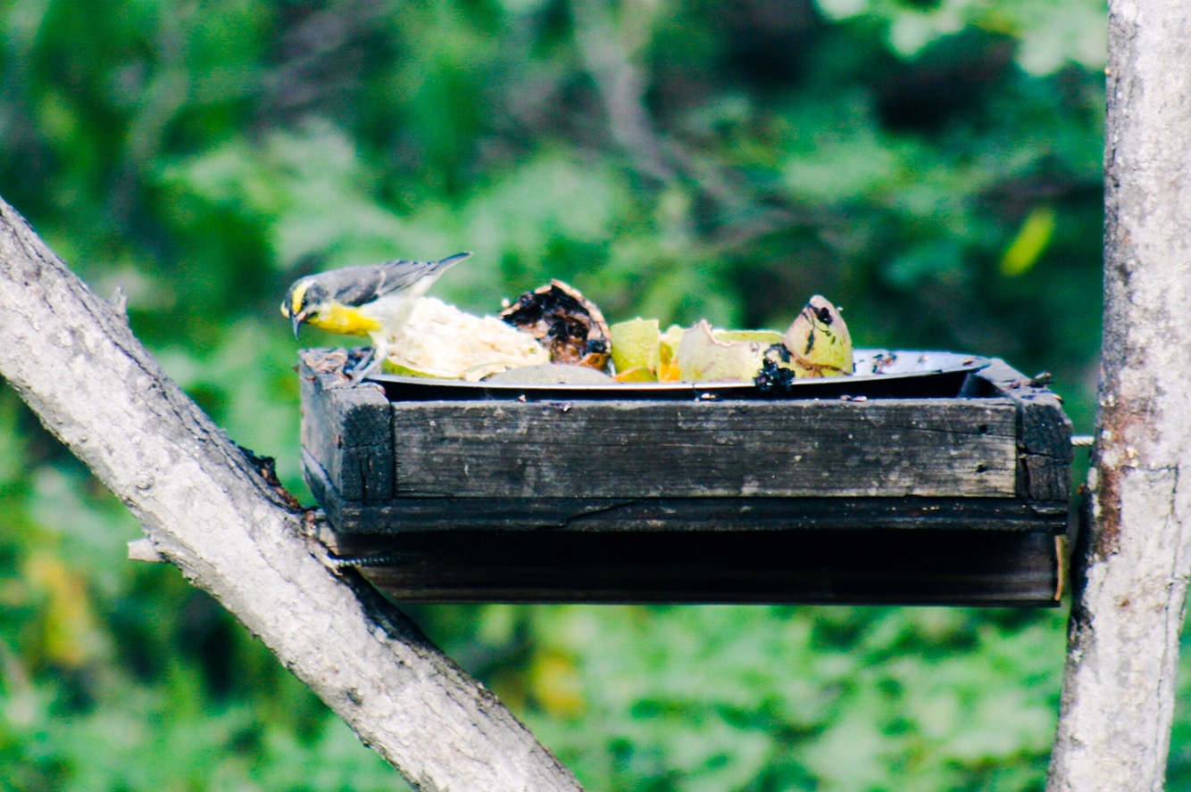 Yellow bellied finches