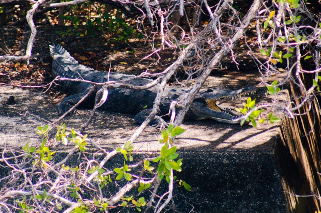 Crocodile pet that hangs out at Shelter Bay Marina