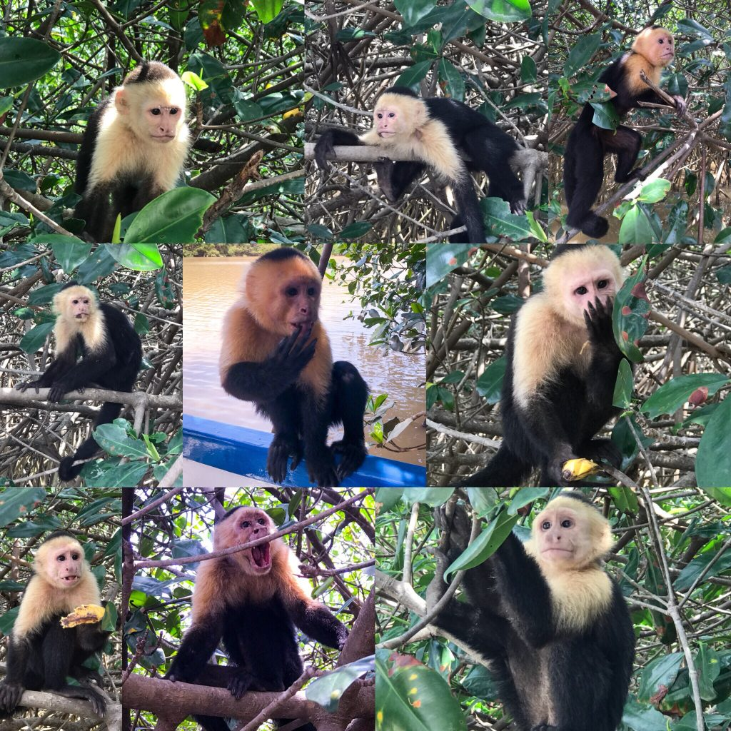 White Face Capuchin Monkeys