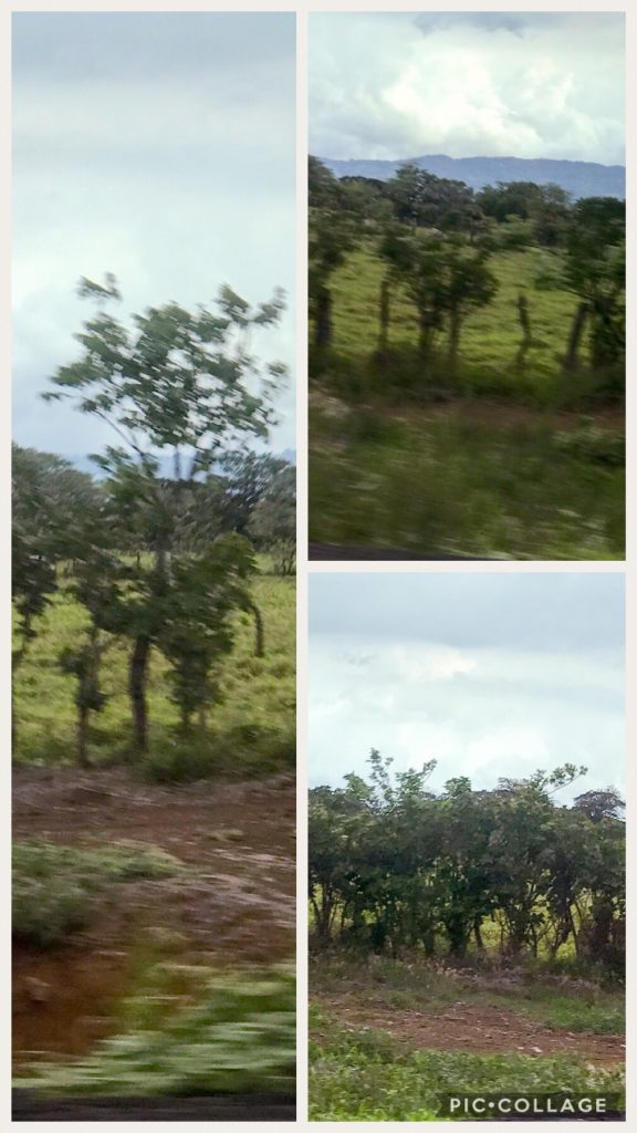 Little blurry, but tree fences are prevalent all around Costa Rica