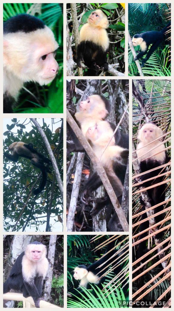 Capuhin Monkeys at Manuel Antonio Park