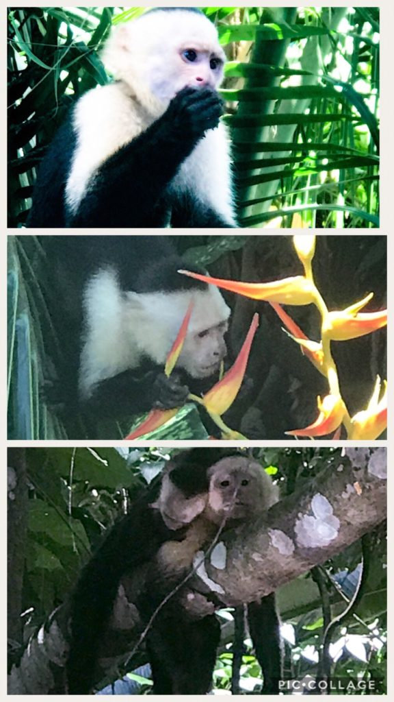 Capuchin Monkeys Near MA Park