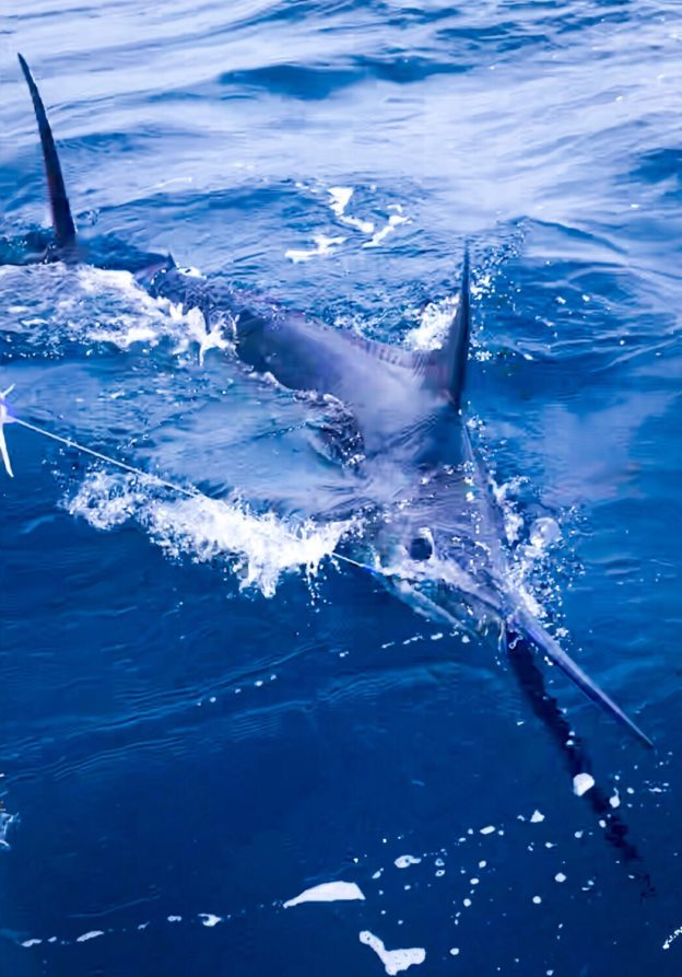Blue Marlin Caught FAD Fishing