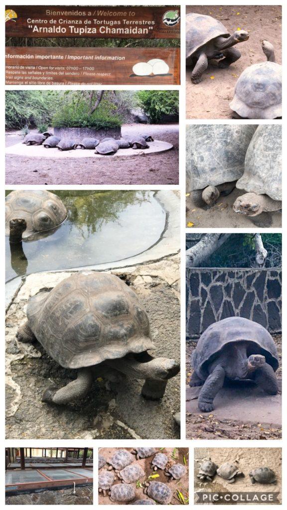 Tortoises or Tortugas