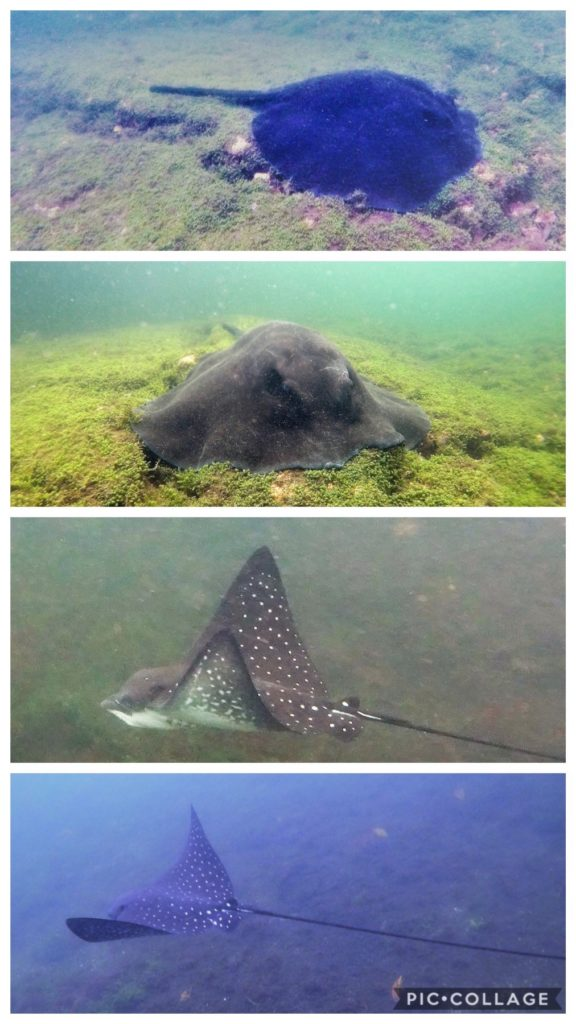Marble Ray & Spotted Eagle Ray