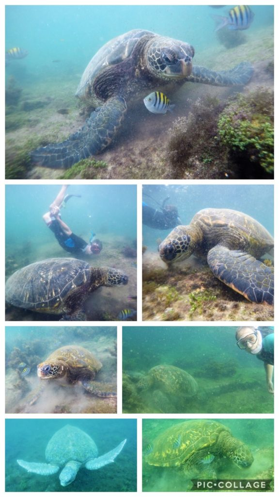 Pacific Green Sea Turtles