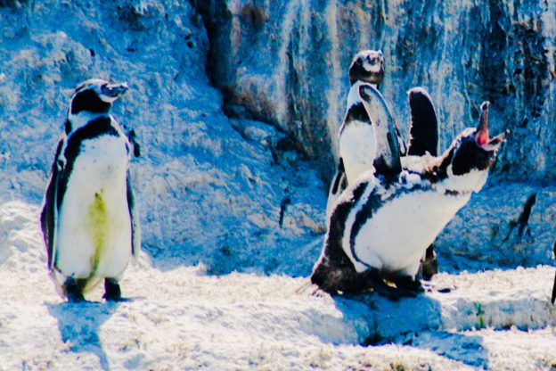 Humbolt Penguins Pichidangui