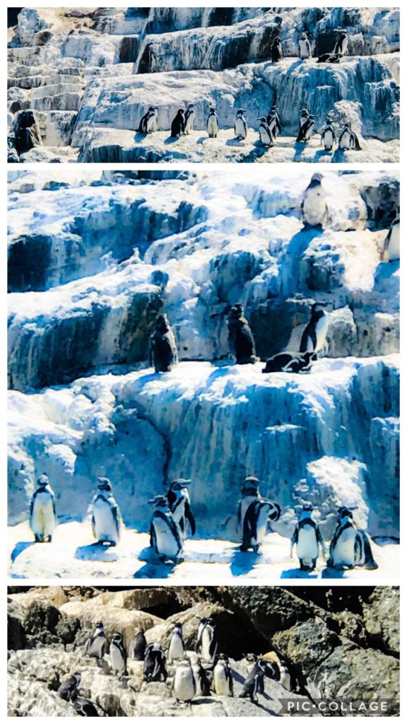 Humbolt Penguins of Chile