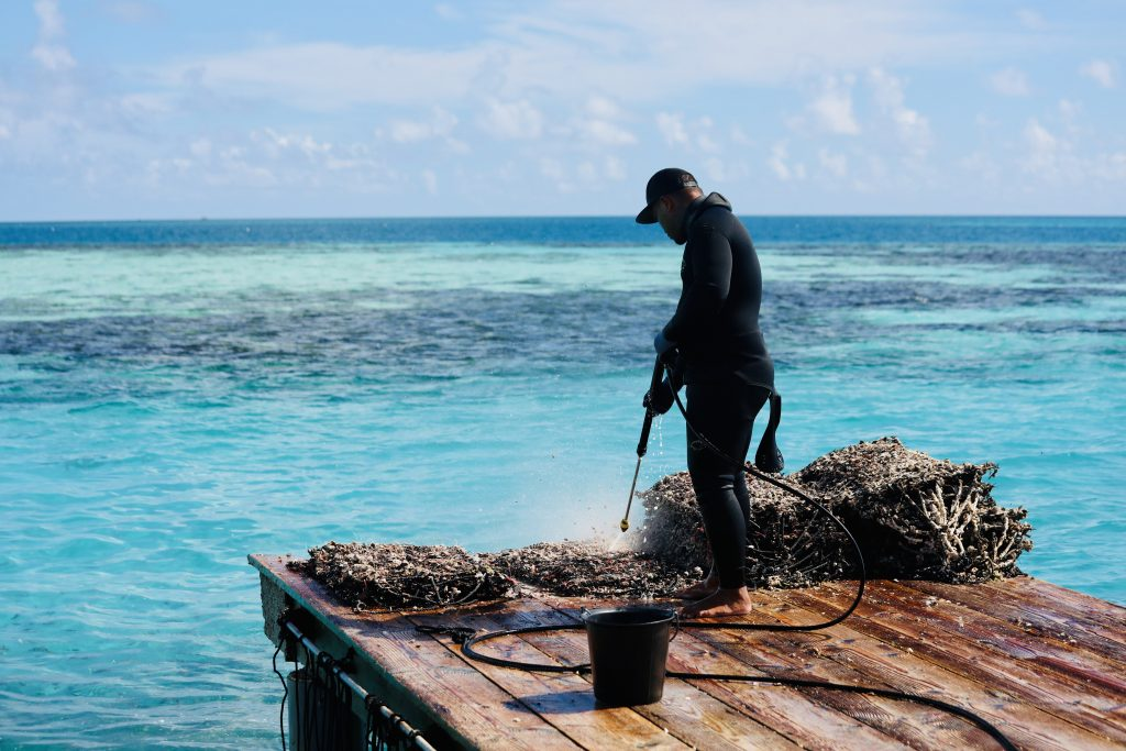 Cleaning the pearls shells in between harvesting