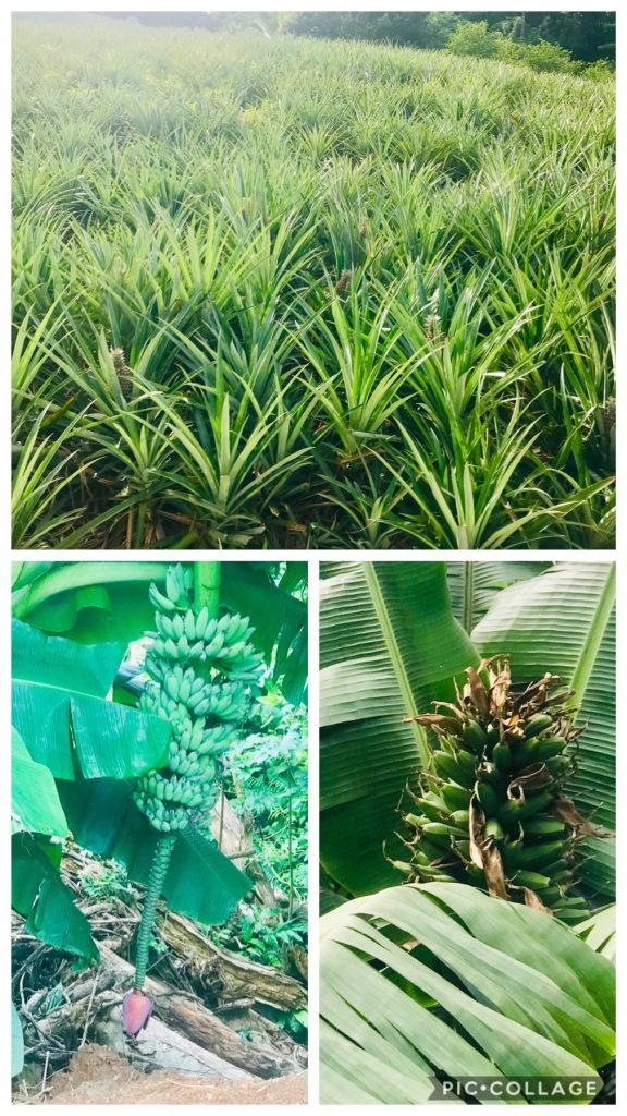Pineapple Crop, Banana and Plantain Bloom